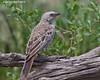 Rufous-tailed Weaver, Ndutu, Tanzania.