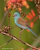 Blue-capped Cordon-bleu.. Ndutu  Tanzania