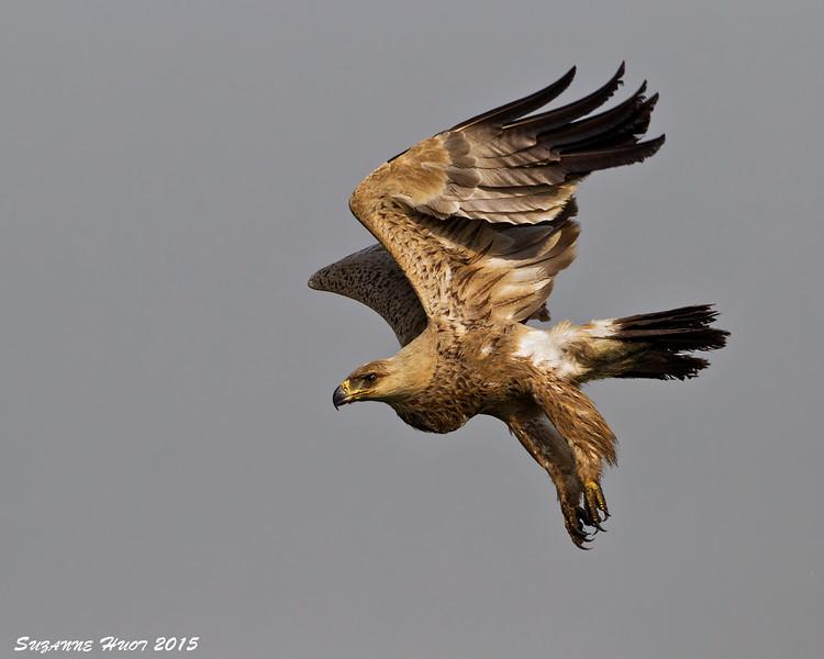 Tawney Eagle in flight. Ndutu  Tanzania.