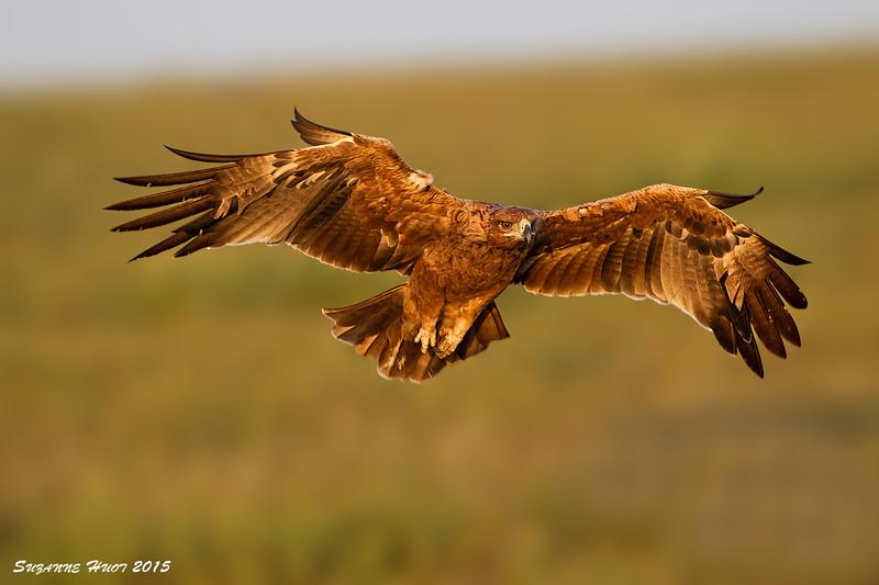 Tawny Eagle at Sunrise.  Ndutu Tanzania.