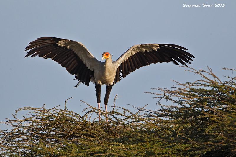 Secretary Bird  on Nest.