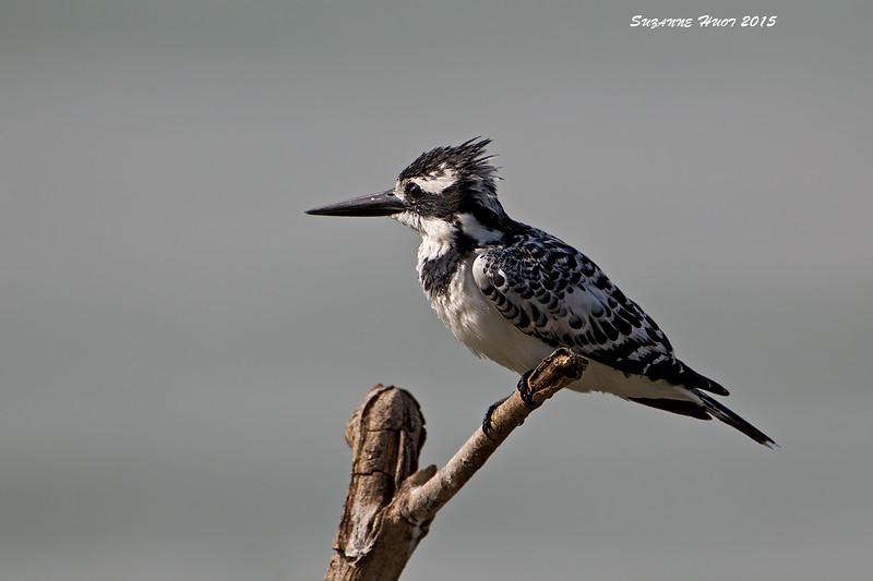 Pied Kingfisher. Lake Victoria , Tanzania.