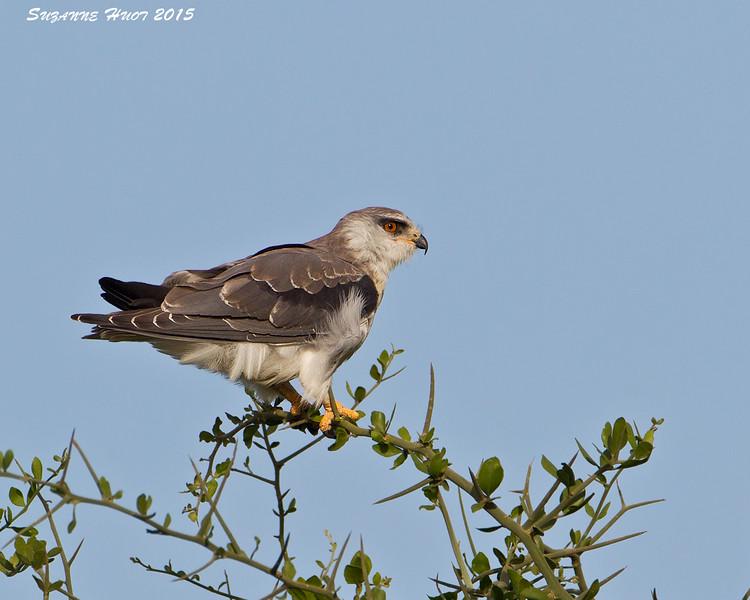 Black-shouldered Kite  juvenile.