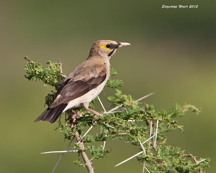 Wattled Starling  Ndutu, Tanzania.