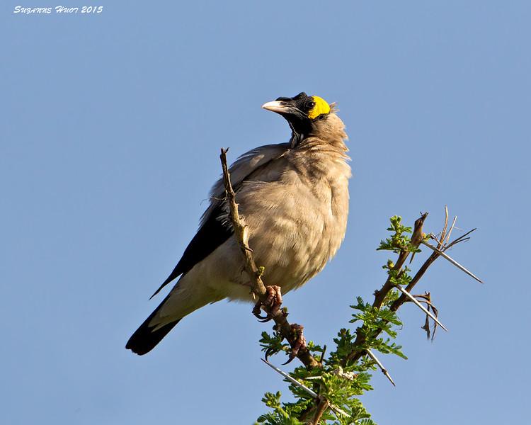 Wattled Starling,  Serengeti, Tanzania.