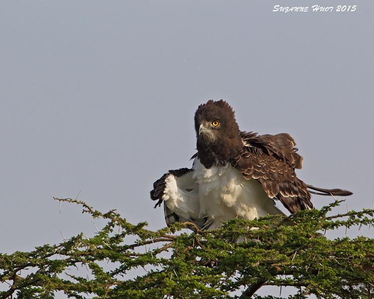 Black-chested Snake Eagle. Ndutu  Tanzania.