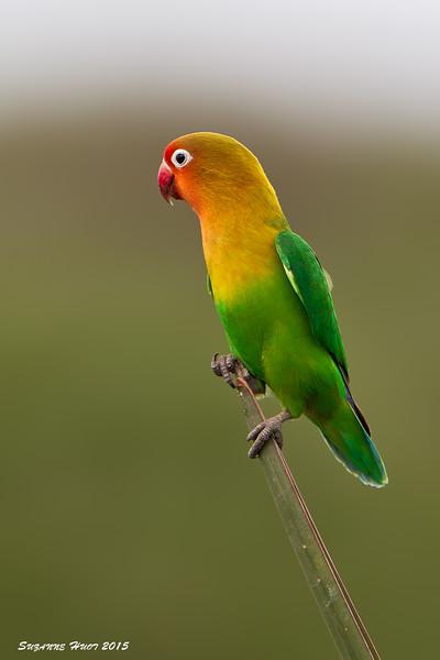 Fischer's Lovebird.  Ndutu  Tanzania.