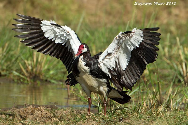 Spur-winged Goose, Nudutu ,Tanzania.