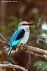 Mangrove Kingfisher. Serengeti  Tanzania.