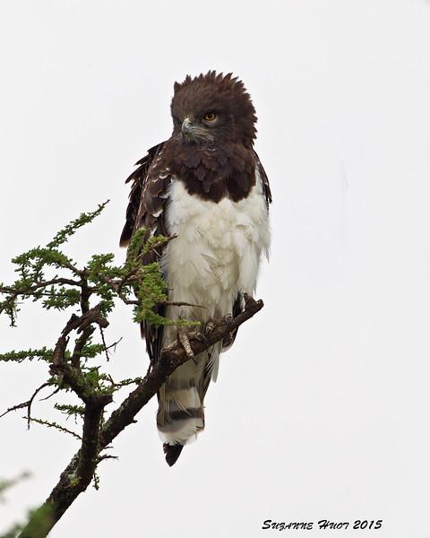 Black -chested Snake Eagle. Ndutu  Tanzania.