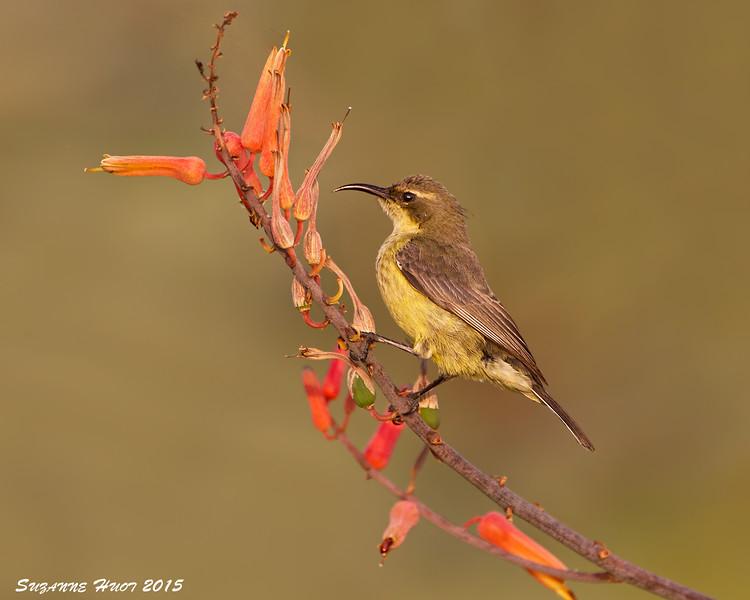 Beautiful Sunbird female. Ndutu  Tanzania