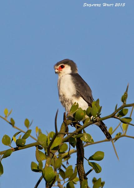 Pygmy Falcon. Ndutu  Tanzania.