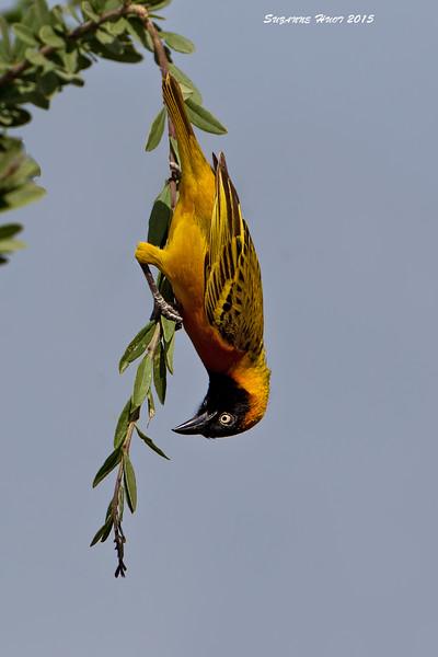 Lesser masked Weaver, Ndutu, Tanzania.