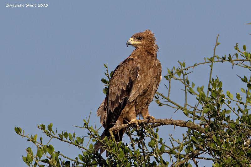 Tawney Eagle. Ndutu ,Tanzania.