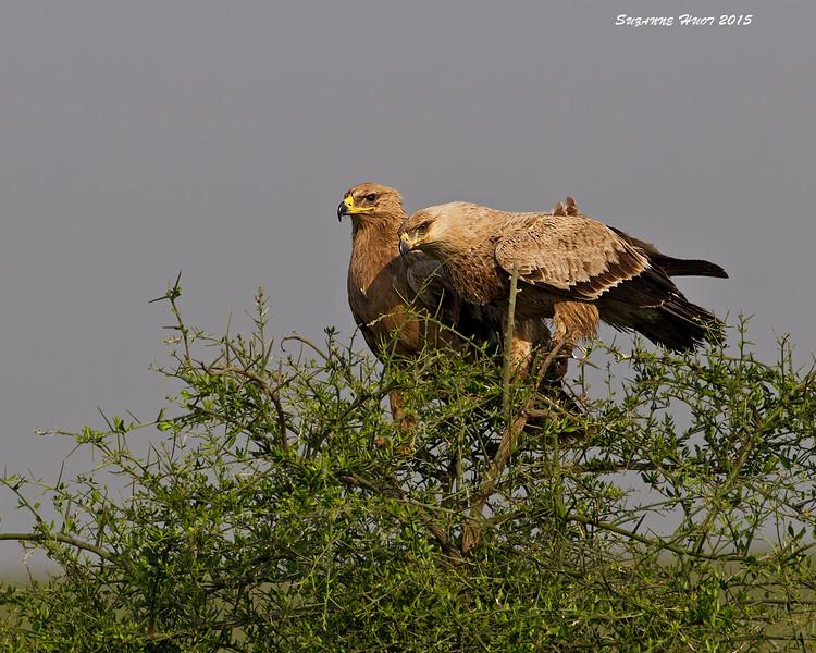 Tawney Eagle mated pair