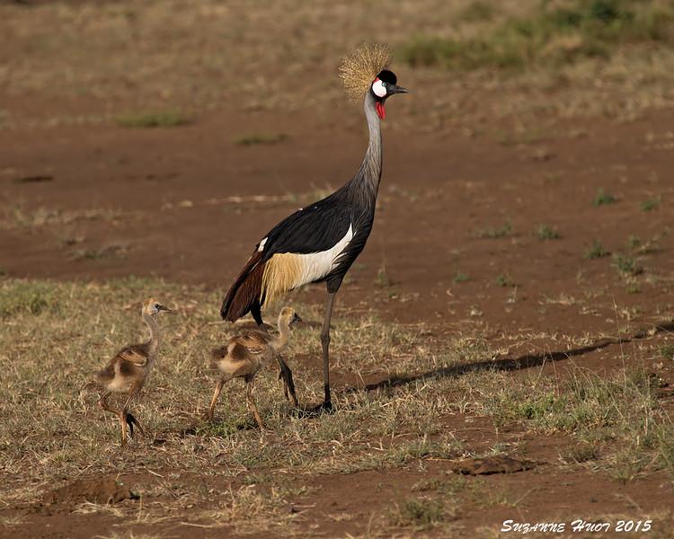 Grey Crowned Crane with chicks.  Masai Mara , Kenya.