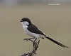 Grey-backed Fiscal