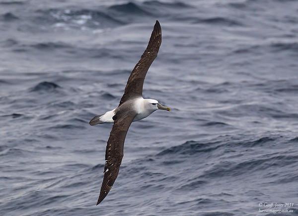 AU-SHA-10 Shy Albatross ( Thalassarche cauta )Off Tasmainia Eastern Coast Dec 2011.jpg