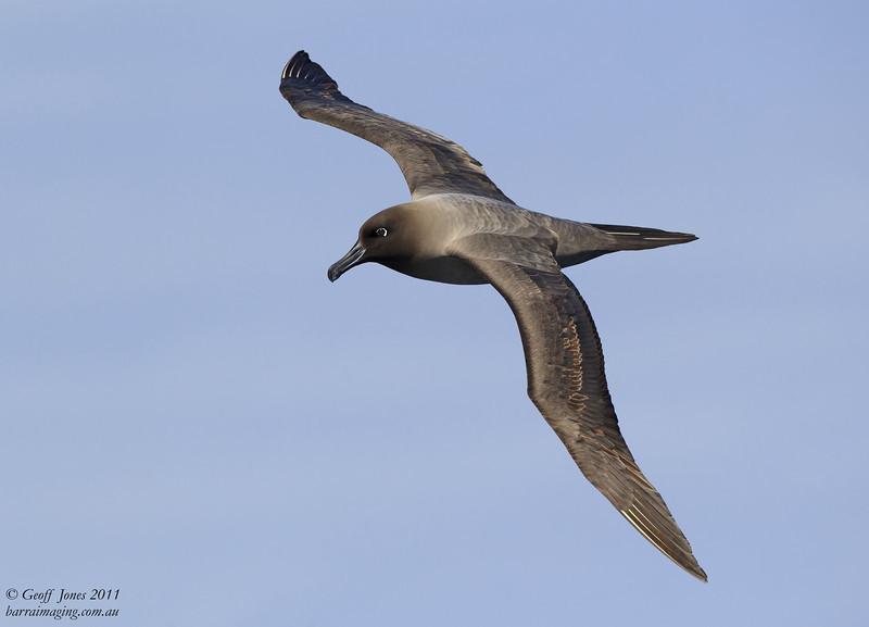 NZ-LMA-1 Light-mantled Albatross ( Phoebetria palpebrata ) Auckland Islands NZ Dec 2011.jpg