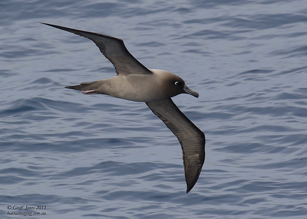 AU-LMA-07 Light-mantled Albatross ( Phoebetria palpebrata ) Off Tasmainia Eastern Coast Dec 2011.jpg