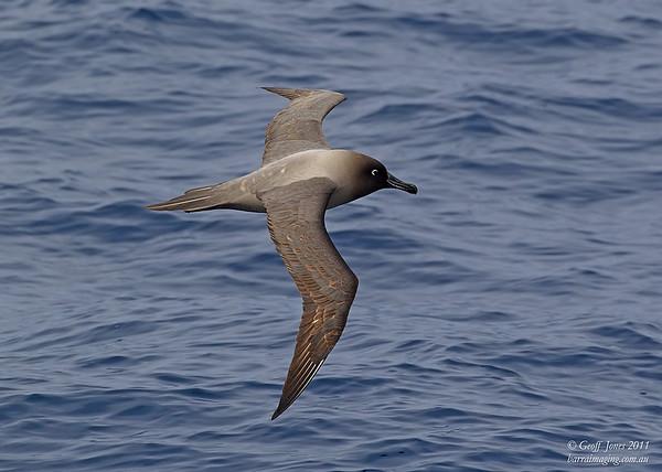 AU-LMA-06 Light-mantled Albatross ( Phoebetria palpebrata ) Off Tasmainia Eastern Coast Dec 2011.jpg