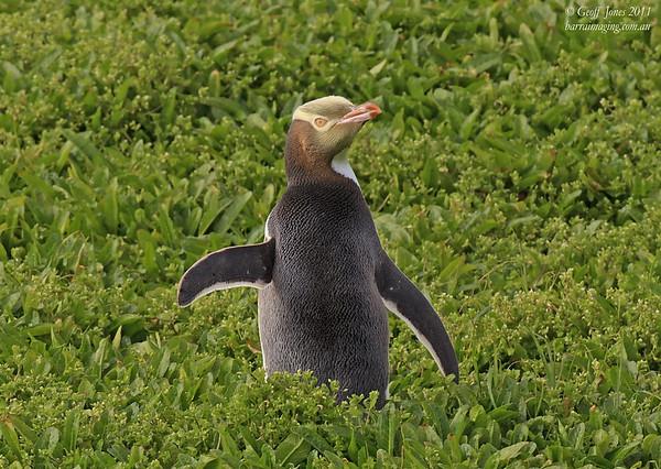 NZ-YEP-07 Yellow-eyed Penguin ( Megadyptes antipodes ) Enderby Island NZ Dec 2011