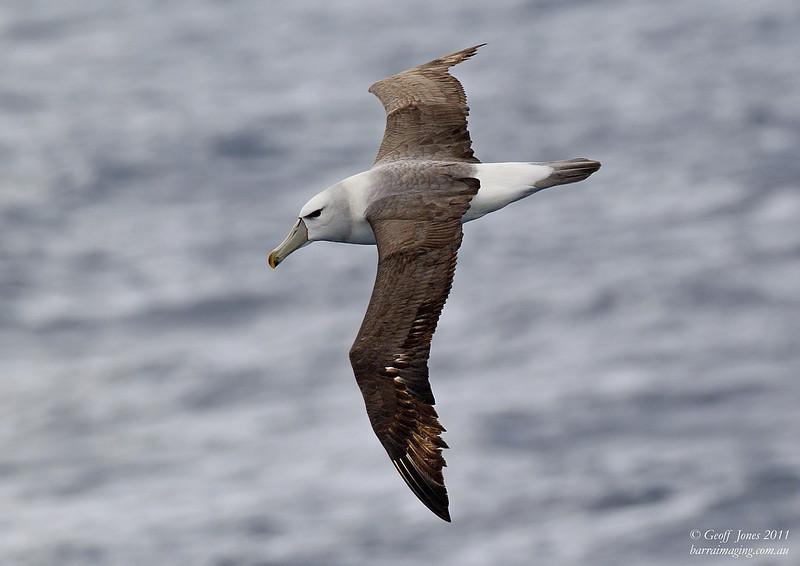 AU-SHA-11 Shy Albatross ( Thalassarche cauta )Off Tasmainia Eastern Coast Dec 2011.jpg