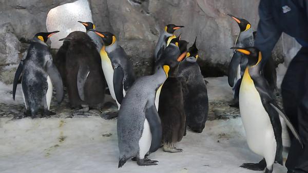 Penguins at Kelly Tarlton's Underwater World, Auckland, NZ (5D0_8207)