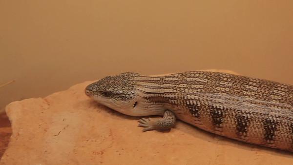 Goanna at Reptile Museum, Alice Springs, Australia (5D0_9269)