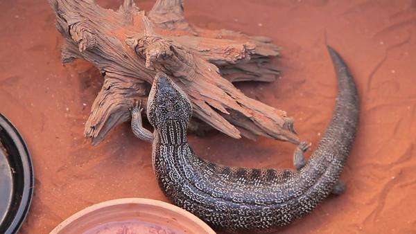 Goanna at Reptile Museum, Alice Springs, Australia (5D0_9275)