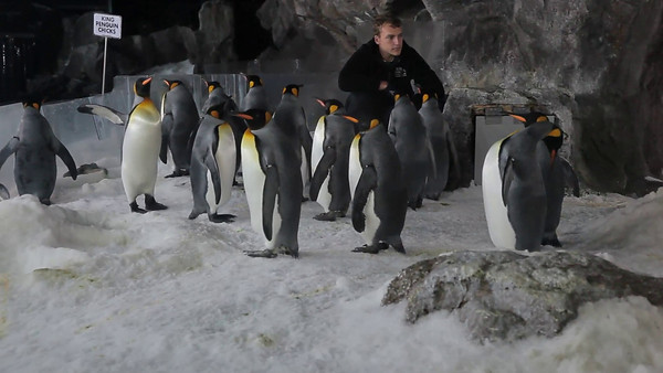 Penguins at Kelly Tarlton's Underwater World, Auckland, NZ (5D0_8168)