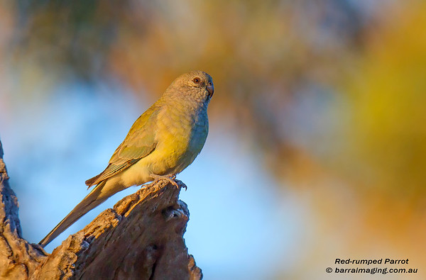 Red-rumped Parrot female