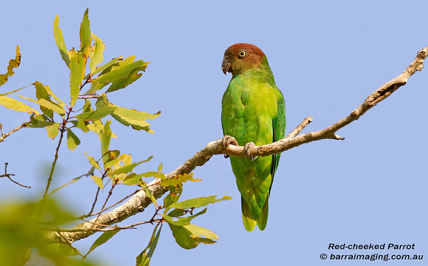 Red-cheeked Parrot female