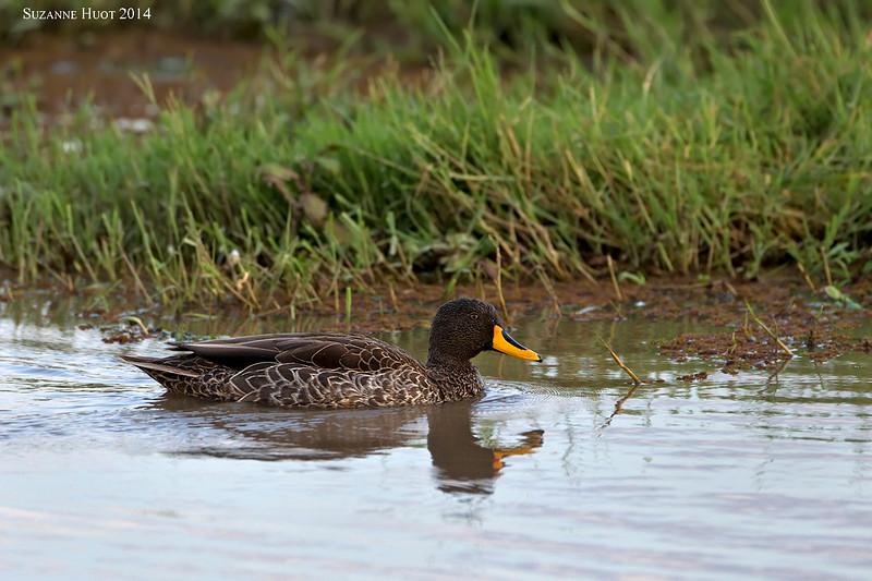 Yellow-billed Duck. Lake Nakuru ,  Kenya.