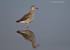 Ruff reflection. Fairly common Winter visitor to East Africa. Serengeti.