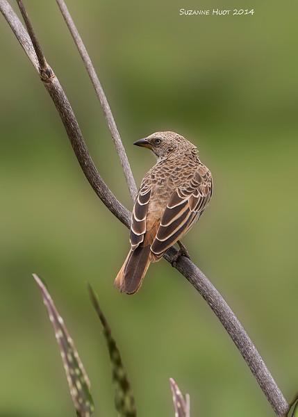 Female Starling ? to be I.D  Ndutu Lake Tanzania.