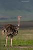 Ostrich,  female.