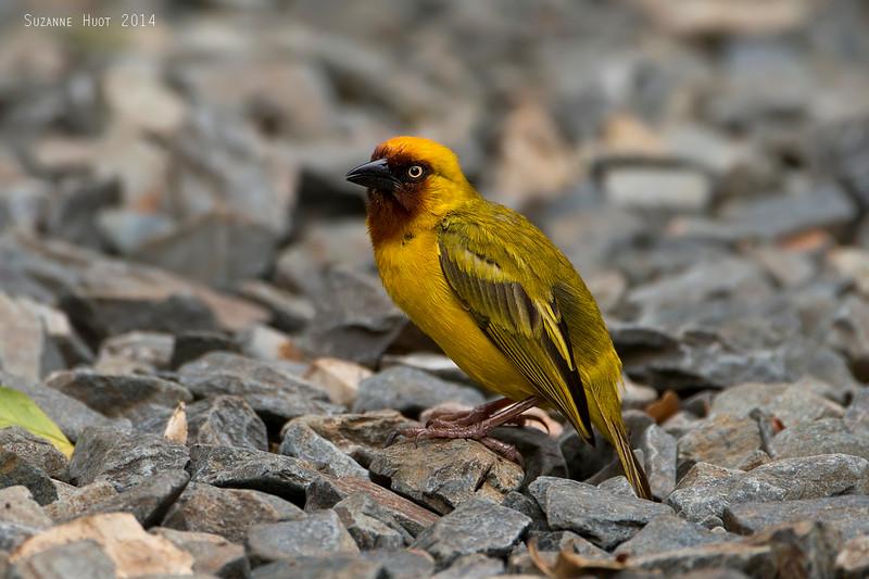 Northern Brown-throated Weaver.  Lake Victoria  Tanzania.