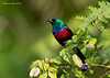 Northern Double-collared Sunbird,  male.