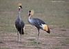 A pair of Grey Crowned Cranes.  Cranes are monogamous and mate for life.