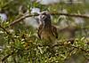 Trumpeter Hornbill ?  female   Masai Mara  Kenya.