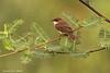 Chapin's Flycatcher.. Speke Bay  Tanzania