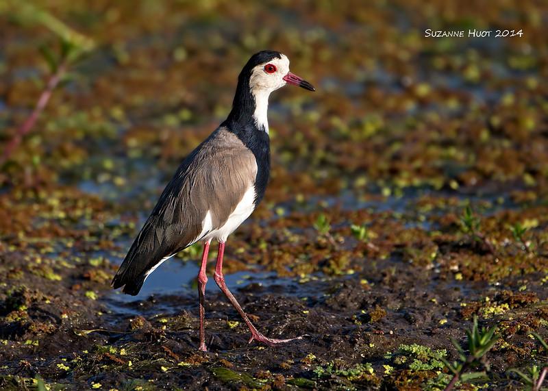 Long-toed Lapwing,  Amboseli  Kenya.