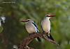 Mangrove Kingfisher pair.  Tarangiri, Tanzania.