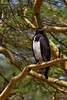 Great Sparrowhawk.  Lake Nakuru Kenya.