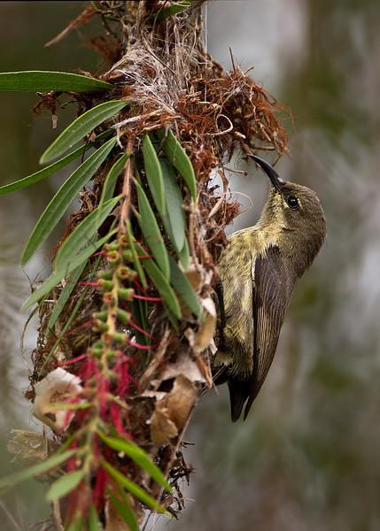 Northern Collared Sunbird ,female building nest in Bottlebrush tree.. Speke Bay.