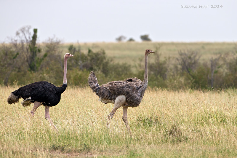 Pair of Ostrich