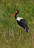 Saddle-billed Stork..  Serengeti, Tanzania