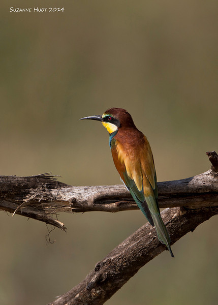 Cinnamon-chested Bee-eater.