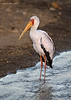 Yellow-billed Stork. at Dawn.  Lake Nakuru Kenya.